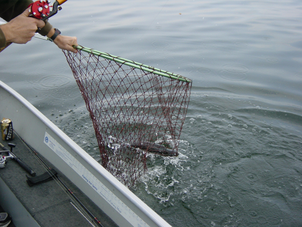 Boating the musky takes a sturdy net.