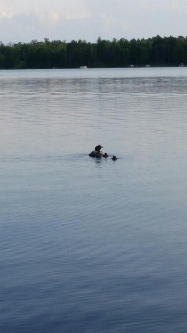 Ham Lake Loons photo by John Ingalls