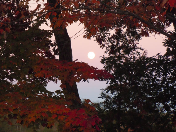 Harvest moon seen through red fall leaves