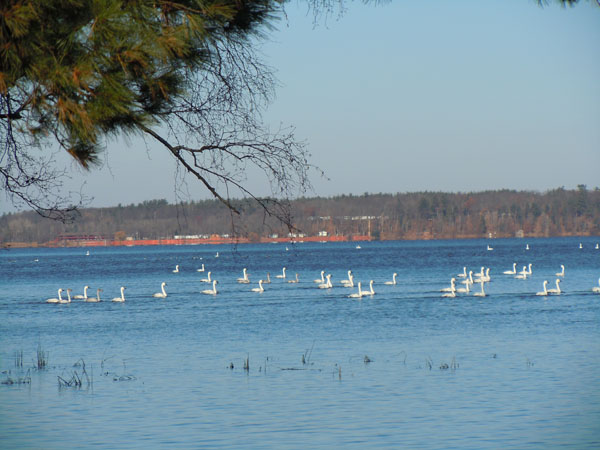 Flock of white birds sitting in Yellow Lake