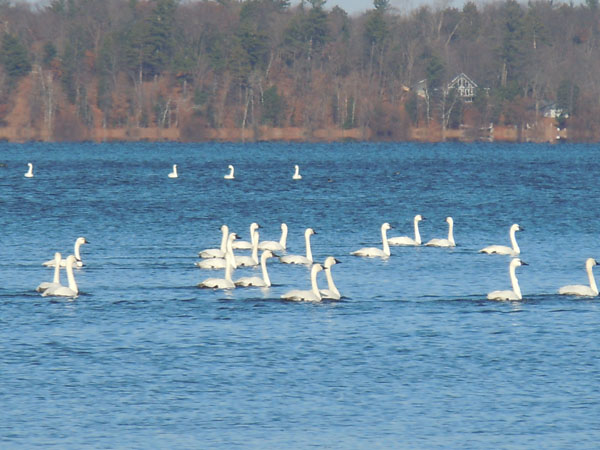Flock of white birds sitting in bright blue lake