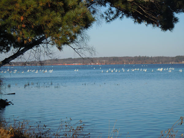 Flock of white birds sitting in Yellow Lake 2