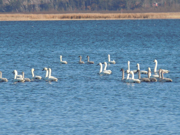 Flock of white and grey birds sitting in Yellow Lake