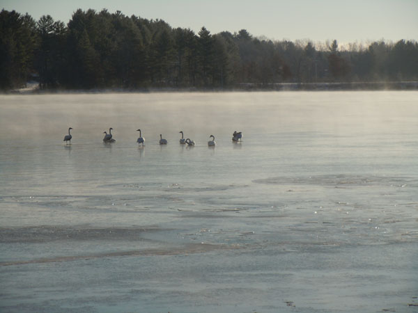 Geese in the middle of a foggy lake