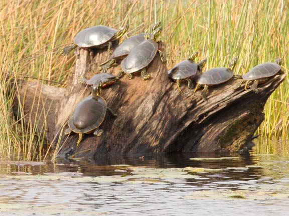 turtles at crex