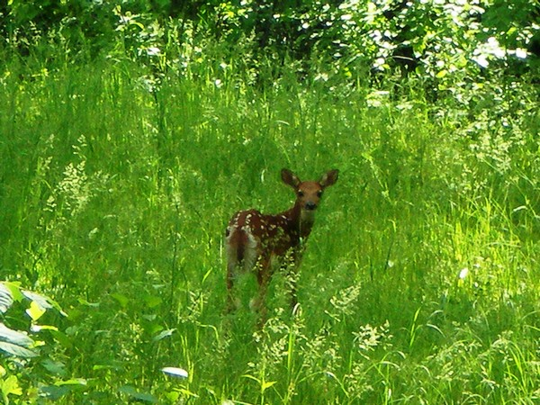 Spotted baby deer in bright green tall grass