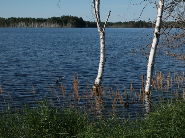 Birch trees and weeds submerged in the lake water