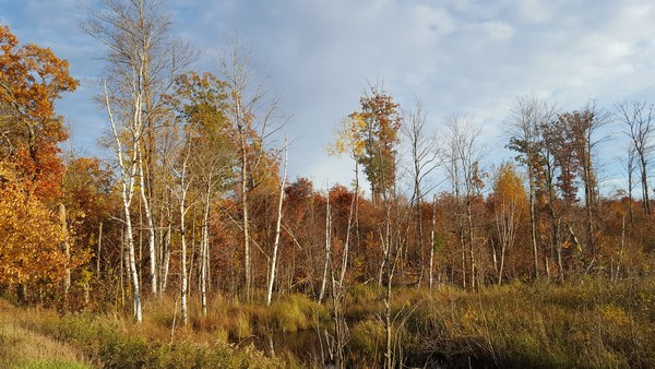 Birch trees near fall colored trees in the wetlands